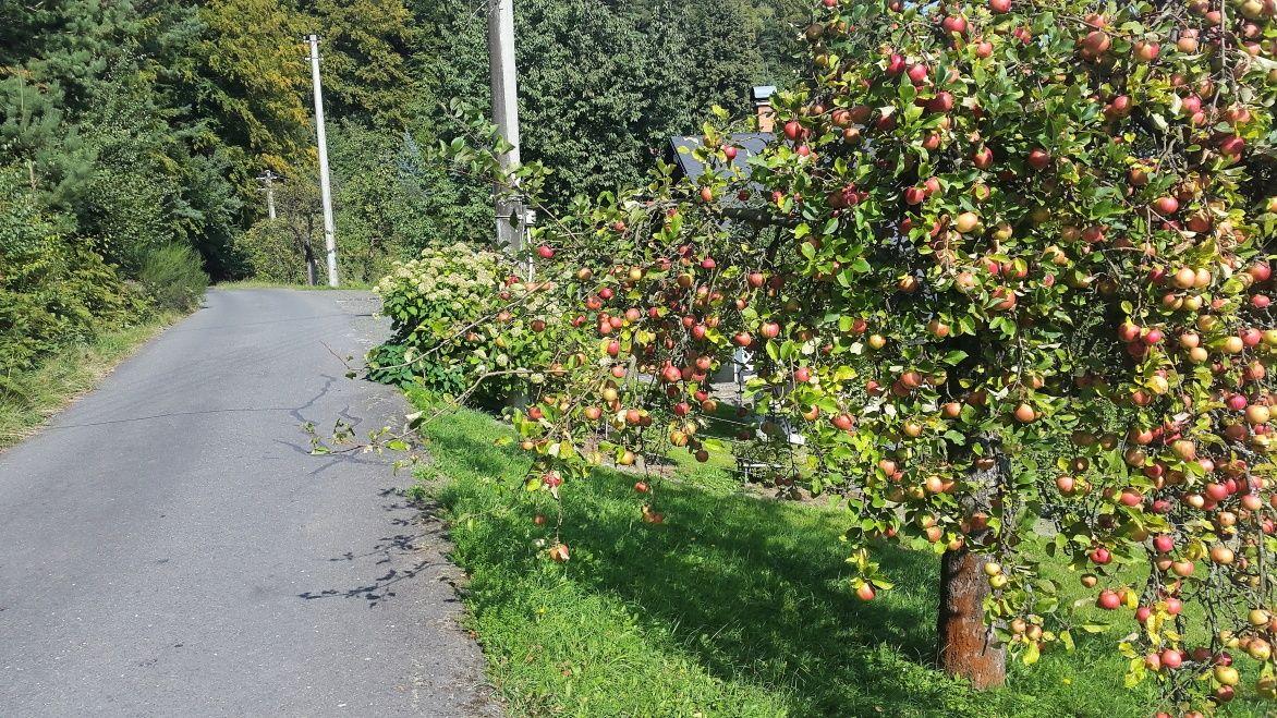 czechy-jablka